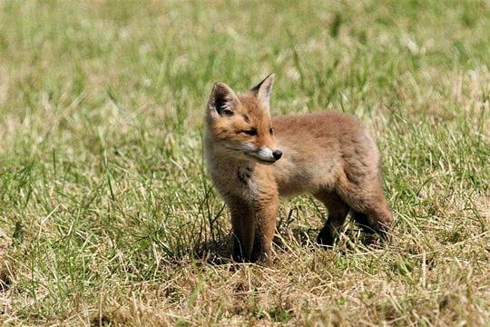 Les 100 plus belles photos animalières de l'année - Page 2 Renardeau-405192