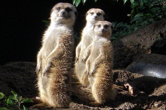 Les 100 plus belles photos animalières de l'année - Page 2 Suricates-405196