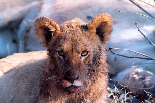 Les 100 plus belles photos animalières de l'année - Page 2 Festin-lionceau-405246