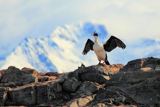 Les 100 plus belles photos animalières de l'année - Page 2 Cormoran-406209