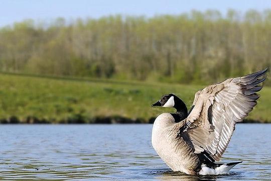 Les 100 plus belles photos animalières de l'année - Page 2 Bernache-406211
