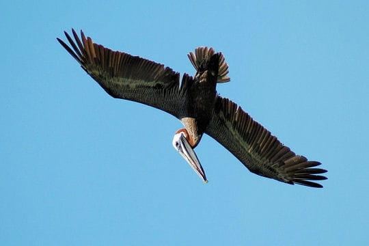 Les 100 plus belles photos animalières de l'année - Page 2 Pelican-406214