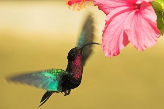 Les 100 plus belles photos animalières de l'année - Page 2 Colibri-hibiscus-406232