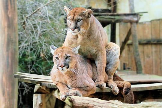 apr s les cougars voici les pumas encore plus nombreux vivreaupresent. Black Bedroom Furniture Sets. Home Design Ideas