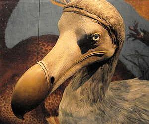 reconstitution du dodo.