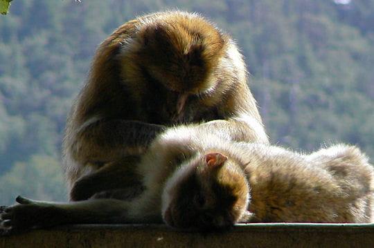 la sieste des singes