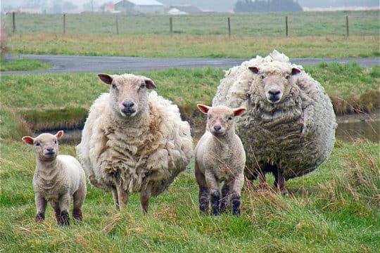 http://www.linternaute.com/nature-animaux/magazine/photo/l-animal-que-les-lecteurs-ont-choisi-comme-symbole-pour-l-europe/image/mouton-433958.jpg