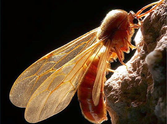 Mâle fourmi