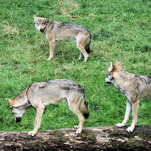 leu-leu vient du mot 'loup'.