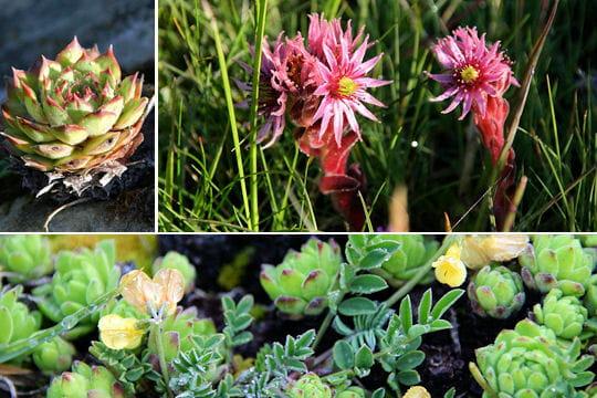 Nature et animaux faune et flore de la vanoise for Artichaut plante grasse