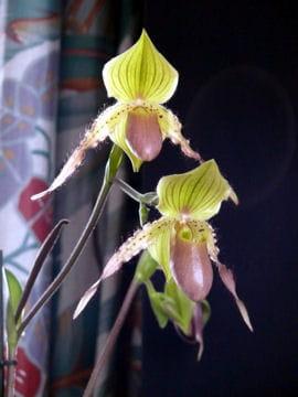 Sabot de v nus les fleurs prot g es en france linternaute - Orchidee sabot de venus ...