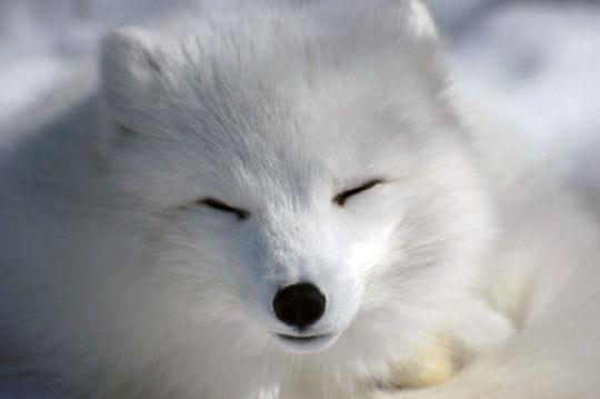 Le renard polaire - Renard mignon ...