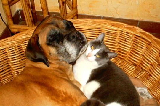 Les Chiens et les chats dans ANIMAUX comme-chien-chat-474087