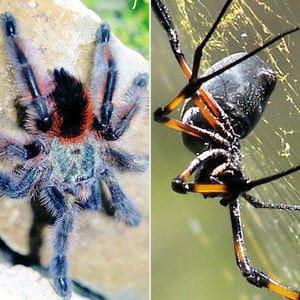 Le venin des araign es les 10 animaux les plus dangereux pour l 39 homme linternaute - Araignee rouge dangereux pour l homme ...