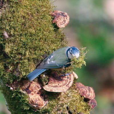 la mésange bleue peut devenir rapidement familière avec une personne qui lui