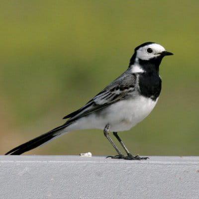 la bergeronette grise est un oiseau tout en contraste.