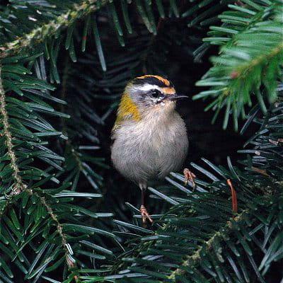 roitelet triple-bandeau est le plus petit oiseau d'europe.
