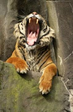 le b illement grandiose du tigre le sommeil des animaux. Black Bedroom Furniture Sets. Home Design Ideas