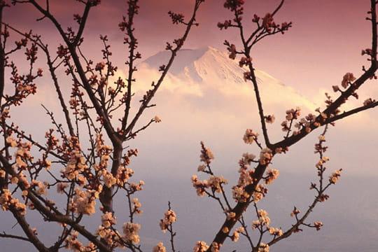 cerisier japonais - fonds d u0026 39  u00e9cran nature