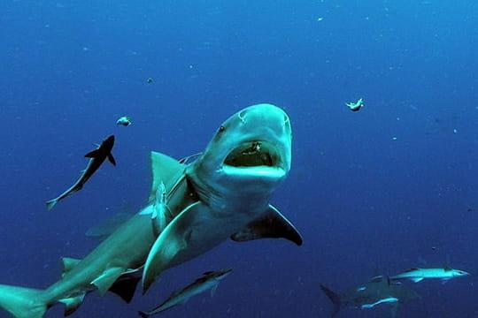 http://www.linternaute.com/nature-animaux/magazine/concours-photos-nature-et-animaux/image/requin-bouledogue-585253.jpg