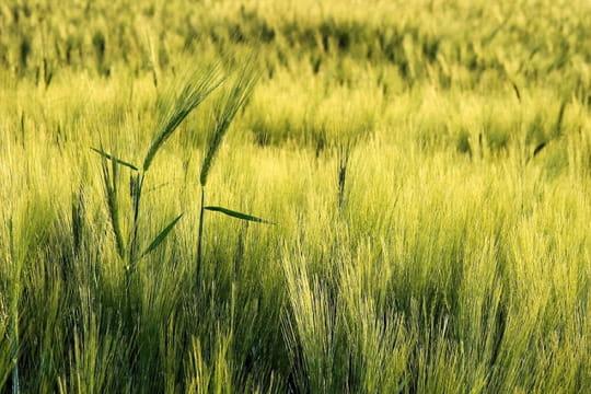Epis de bl paysages champ tres linternaute - Image epis de ble ...