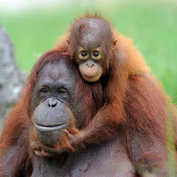 belayan, le  bébé orang-outan du zooparc de beauval