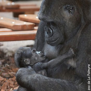 le bébé  gorille du zoo de la palmyre