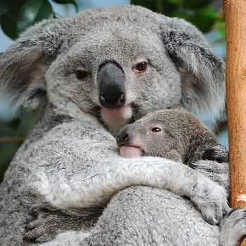 pintupi, le  deuxième bébé koala du zooparc de beauval