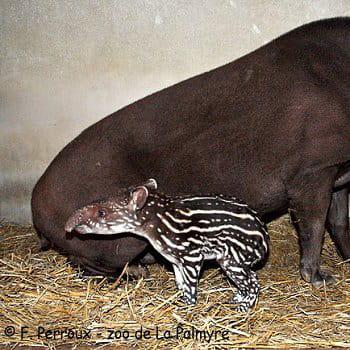 le bébé  tapir dans l'ombre de sa mère