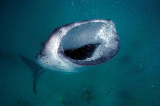 Animaux-totem et symbolique des animaux Festin-requin-baleine-657046