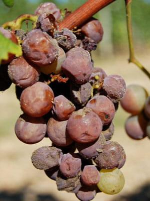le pourriture des grappes destinées au sauternes est appelée pourriture noble.