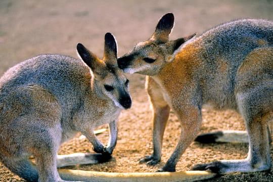 Wallabies, Australie