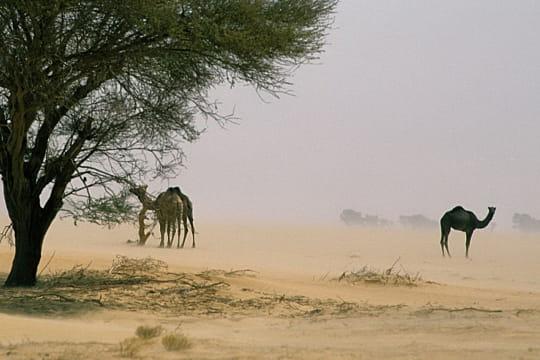 Dromadaires, Sahara