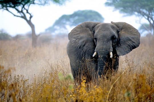 Eléphant, Tanzanie