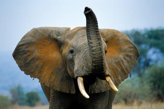 Charge d'éléphant, Tanzanie