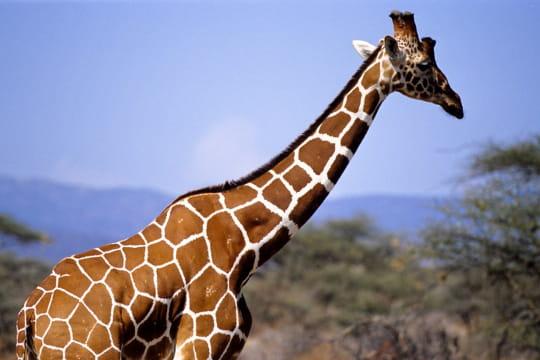 Girafe, Kenya