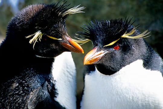 Gorfous Sauteurs, îles Falkland
