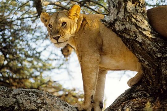 Lionne perchée, Tanzanie