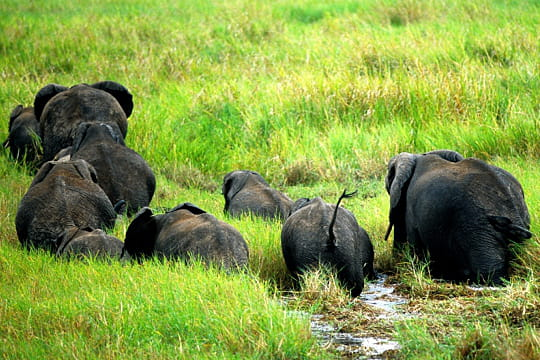 Eléphants, Tanzanie
