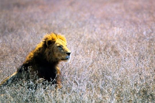 Lion, Tanzanie