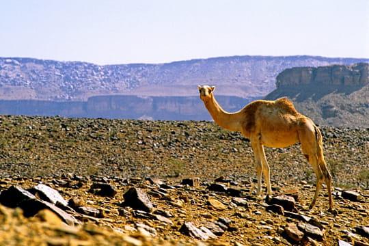 Dromadaire, Mauritanie