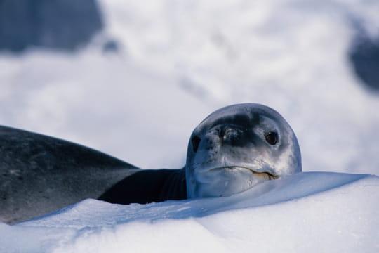 Un phoque flotte dans les eaux de l'Antarctique