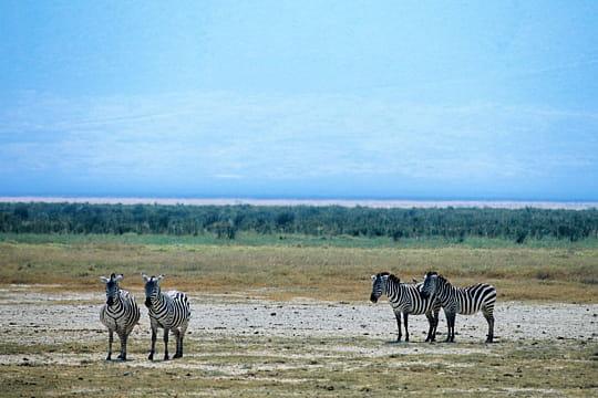 Zèbres, Tanzanie