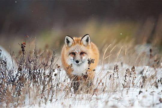 Festival international de la photo animalière et de nature  Renard-a-l-affut-691522