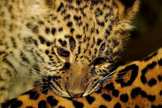 Le r ve du b b jaguar les photos les plus po tiques du r gne animal linternaute - Bebe du jaguar ...
