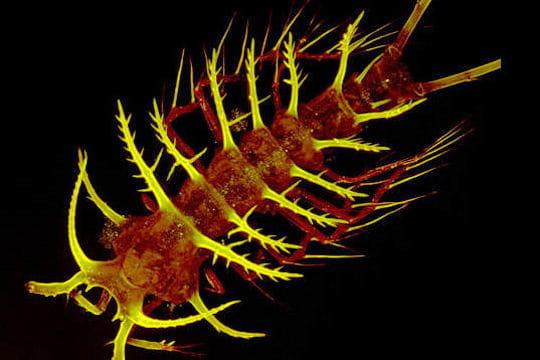 Copépode marin