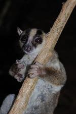 Un lémurien de la taille d'un écureuil découvert à Madagascar