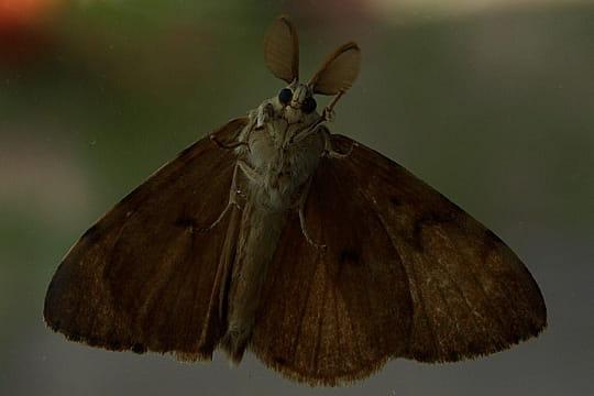 vers papillon de nuit