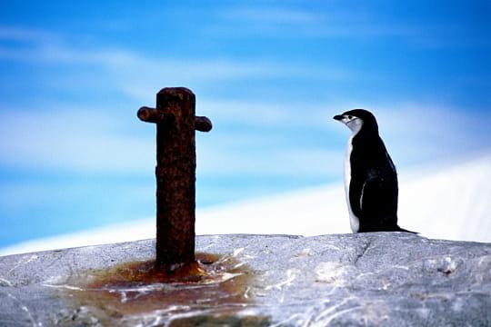 http://www.linternaute.com/nature-animaux/oiseaux/oiseaux-du-grand-froid/image/manchot-a-jugulaire-735660.jpg
