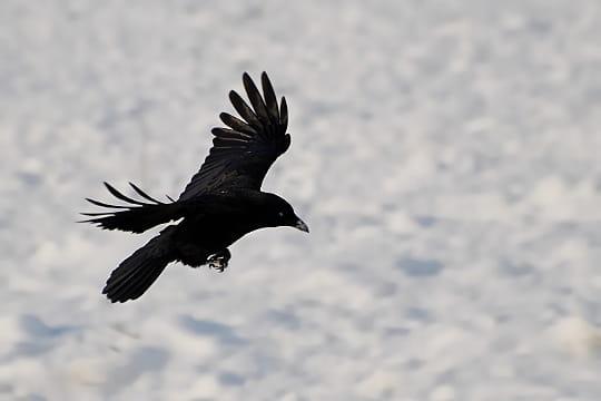 grand-corbeau-739276